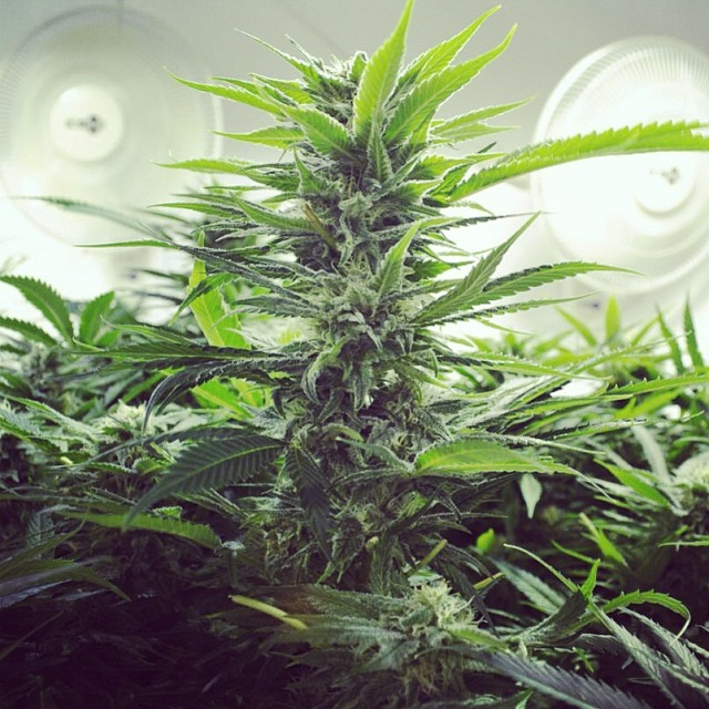 Happy 2014!!! #hortilab #sweetpinkgrapefruitbx #sol #legend #medicalgrow #thirdcoast #seeds #availablesoon #hortilabshop #amsterdam #w420 #weedstagram #weedstagram420 #420 #710