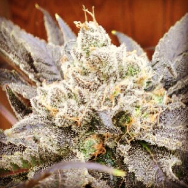 #hortilab #sweetpinkgrapefruitbx #seeds #availablesoon #hortilabshop #amsterdam #420 #710 #w420 #weedstagram #weedstagram420