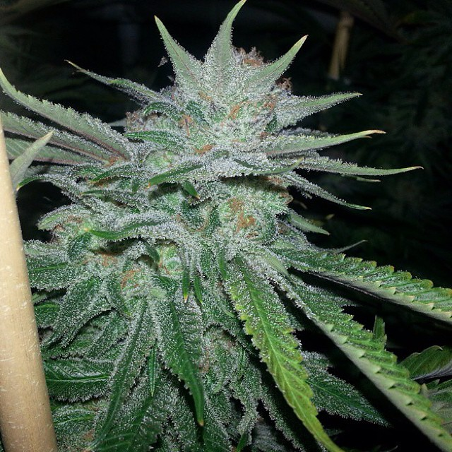 #repost from @thirdcoast_ic #hortilab #sweetpinkgrapefruitbx looking #dank  #seeds available at the #hortilabshop #amsterdam #barcelona #denver #losangeles #highlife #420 #710 #w420 #weedstagram #weedstagram420